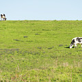 Milk Cow At Point Reyes National Seashore California Dsc4882 by Wingsdomain Art and Photography