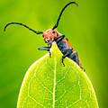 Milkweed Beetle by Abeselom Zerit