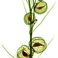 Milkweed, Gomphocarpus Physocarpus by Ted Kinsman