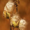 Milkweed by Mark Fuge