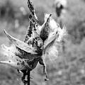 Milkweed Memories by Laurel Best