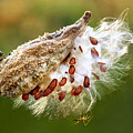 Milkweed  Pod And Visitor by Carolyn Derstine