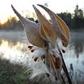 Milkweed Pods Seeds by Kent Lorentzen