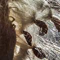 Milkweed Seed Burst by Lon Dittrick