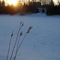 Milkweed Stems Winter Sunrise by Kent Lorentzen