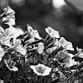 Mill Hill Inn Petunias Black And White by Marina McLain