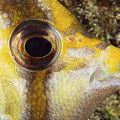 Milletseed Butterflyfish by Dave Fleetham - Printscapes