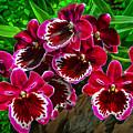 Miltoniopsis Orchids by Brian Tada