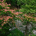 Mimosa On The Dan River by Kathryn Meyer