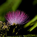 Mimosa Tree Bloom by Michael Whitaker