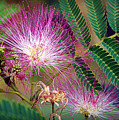 Mimosa's First Blooms by Cricket Hackmann