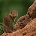 Mini Mongoose by Joseph G Holland