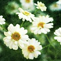 Mini Spring Daisy's by Cathie Tyler