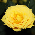 Mini Yellow Rose by Evelyn Patrick