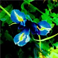 Miniature Blue Iris by Debra Lynch