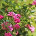Miniature Fuchsia Roses by Colleen Cornelius