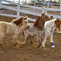 Miniature Horses by Crystal Garner