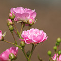 Miniature Pink Roses by Sharon Talson