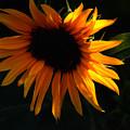Miniature Sunflower by Martin Morehead