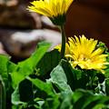 Miniature Yellow Gerbera Daisies by Debra Martz
