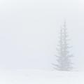Minimalism I Mt Rainier Pine by Ursa Davis