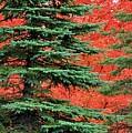 Minnesota Autumn Spruce Maple by Kimberly Benedict