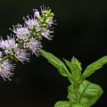 Mint Flower by Matt Malloy