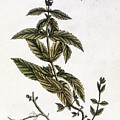 Mint Plant, 1735 by Granger