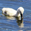 Mirrored Cygnet by Alyce Taylor