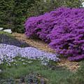 Missouri Botanical Garden Purple Azaleas Dsc01692 by Greg Kluempers