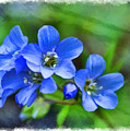 Missouri Wildflowers 5  - Polemonium Reptans -  Digital Paint 1 by Debbie Portwood