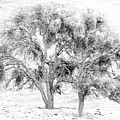 Mistletoe Tree In Black And  White by Karen  W Meyer