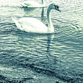 Misty Blue Swans by Lisa Kilby