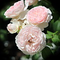 Misty Pink Cabbage Roses Vignette by Colleen Cornelius