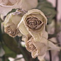Misty Rose Tinted Dried Roses by Colleen Cornelius
