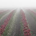 Misty Tulip Fields IIi by Eric Ewing