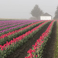 Misty Tulip Fields Iv by Eric Ewing