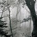 Misty Woods, Juniper by Iain Duncan