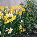 Mixed Daffodils by Maro Kentros