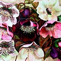 Mixed Hellebore by Karin  Dawn Kelshall- Best