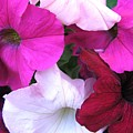 Mixed Petunias by Carol Sweetwood