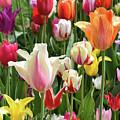Mixed Tulips by Charles Norkoli
