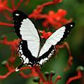 Mocker Swallowtail by Cindi Ressler
