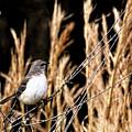Mocking Bird 2 by John Trommer