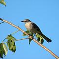 Mocking Bird Out On A Limb by Rosalie Scanlon