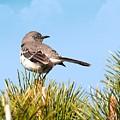 Mockingbird 03 by Robert Hayes