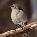 Mockingbird by Edward Loesch