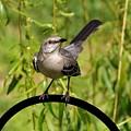 Mockingbird by Francie Davis