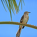 Mockingbird In A Palm Tree by Robert Bales
