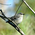 Mockingbird In Green by Teresa Blanton